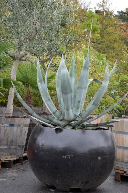 de agave en het olijboompje stonden al klaar om in de kas (achter mijn rug) te worden gezet voor de winter
